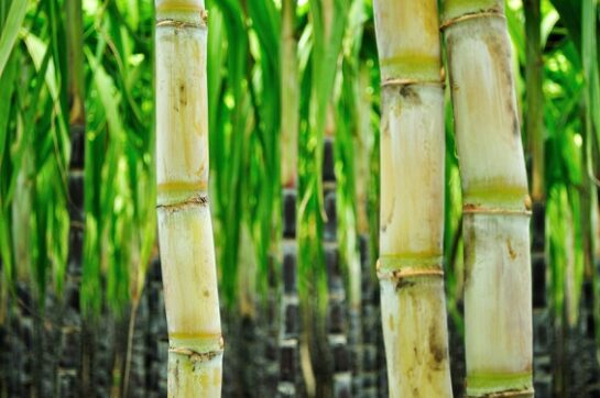 sugar cane used for MSG